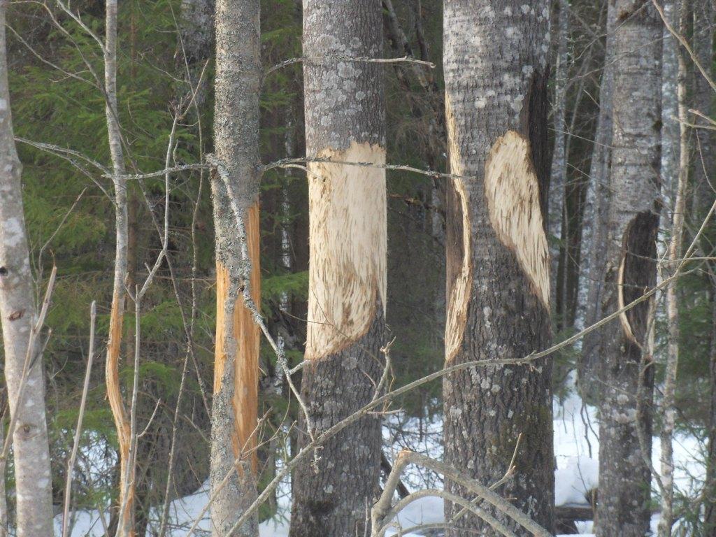 фото меток медведей на деревьях для него должна